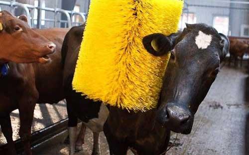 养牛经验:冬季经常刷拭牛体好处多