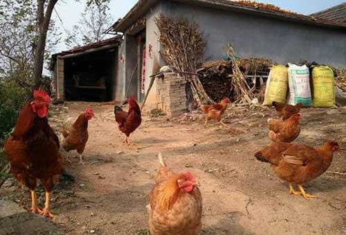 农家养鸡技巧:蛋鸡暖窝建造方法
