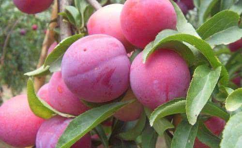 果树挂瓶引注法——果树根外施肥和防治害虫