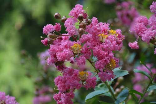 紫薇的栽培管理技术要点有哪些