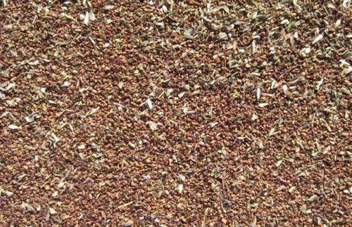 山芝麻种植技术和芝麻病虫害防治技术