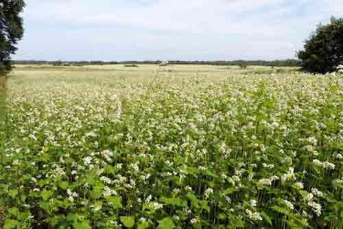 种植经验:秋荞麦高产的技术要点