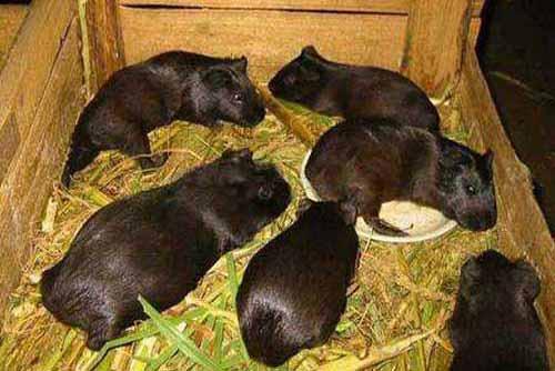 豚鼠养殖技术|豚鼠养殖前景