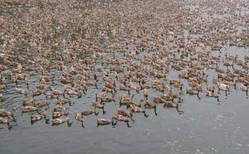 鱼鸭混养——鱼鸭综合养殖实用技术