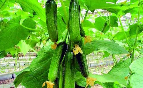 温室大棚黄瓜增产方法